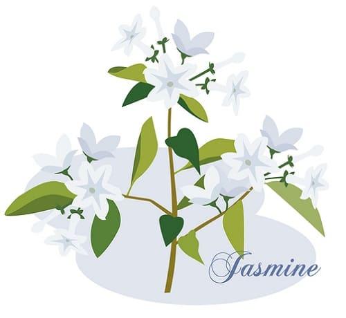 アロママッサージオイルのジャスミン